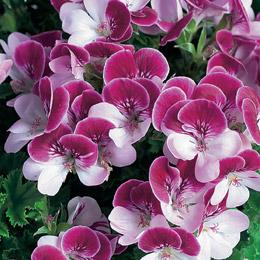 product_geraniums