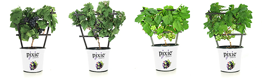 product_PixieGrapes 1