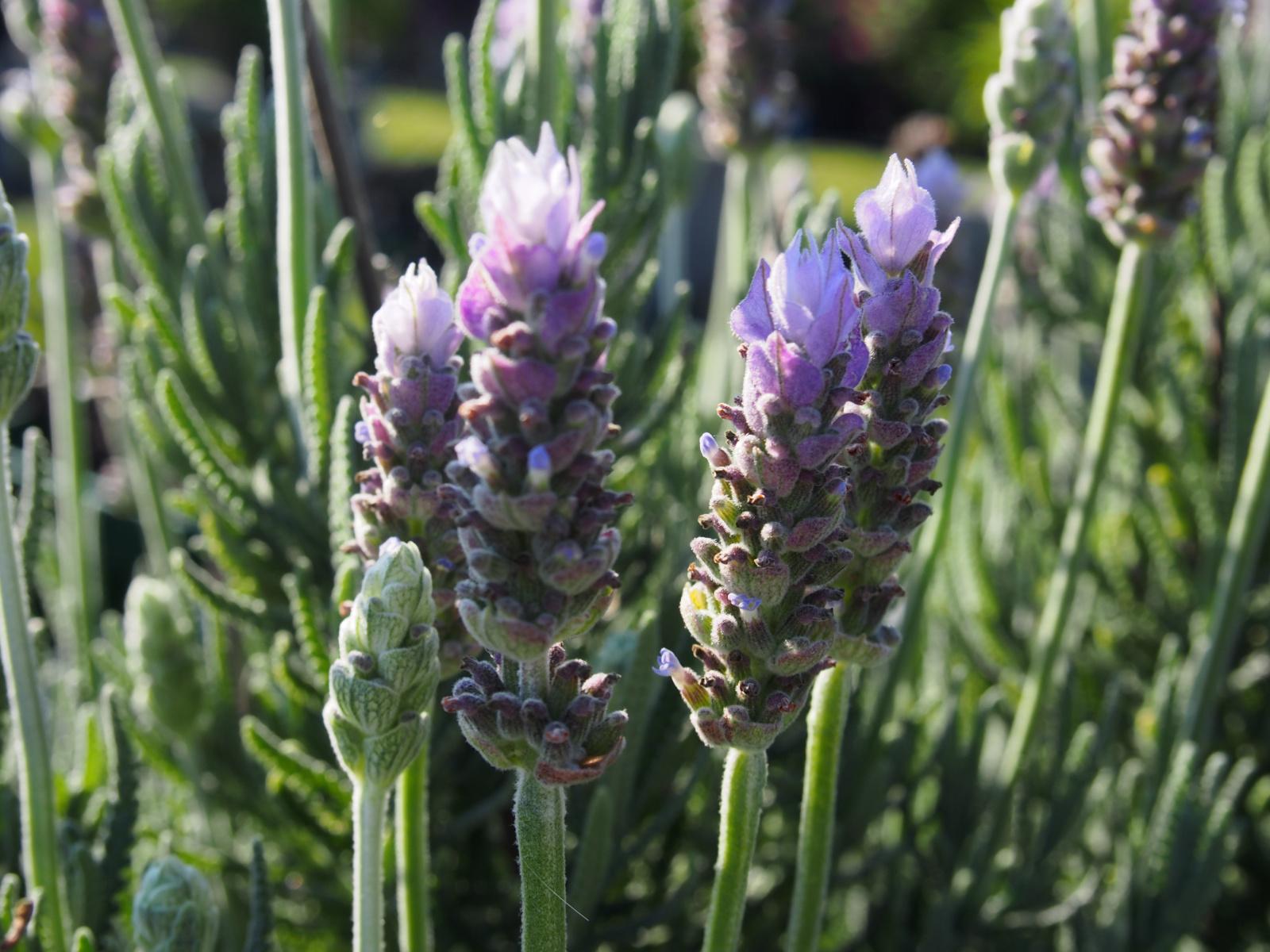 Lavender-Calm-Breeze_LAV15-19561